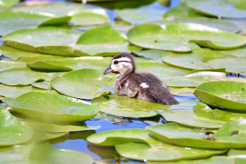 Wood duck chicks take a swim amongst the lily pads in the lake. royalty free stock photos