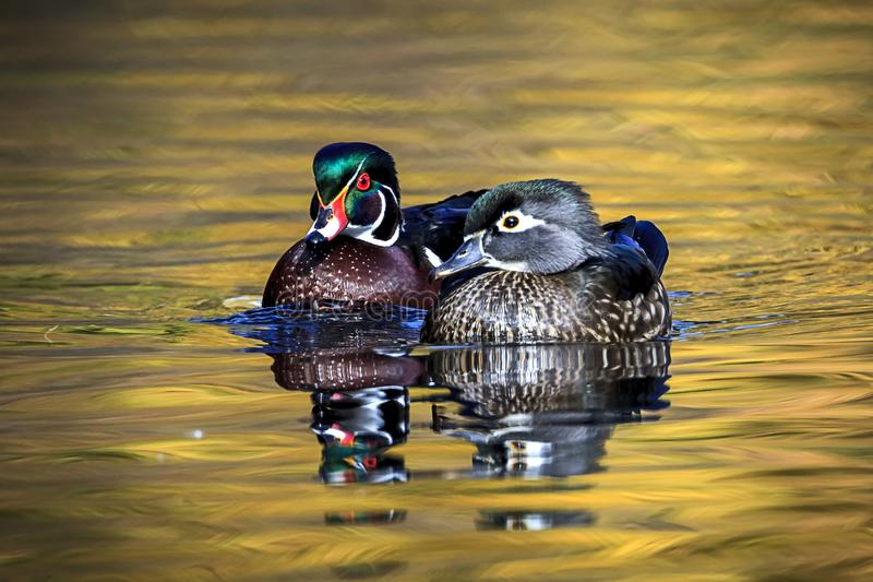 Cute duck couple swims together. A wood duck couple swims together in the small pond at Cannon Hill Park in Spokane, Washington royalty free stock photography