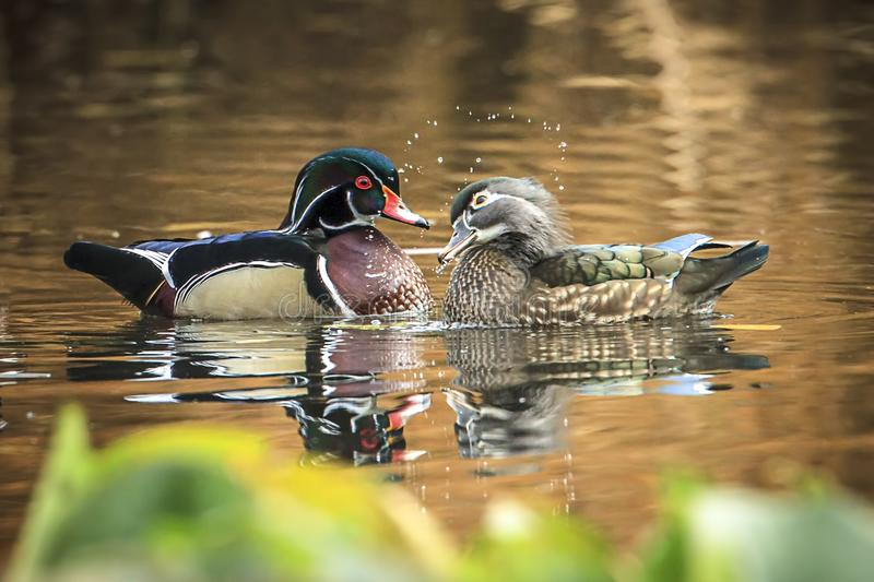 Cute wood duck couple in romantic pose. A wood duck couple swims together in the small pond at Cannon Hill Park in Spokane, Washington royalty free stock photos