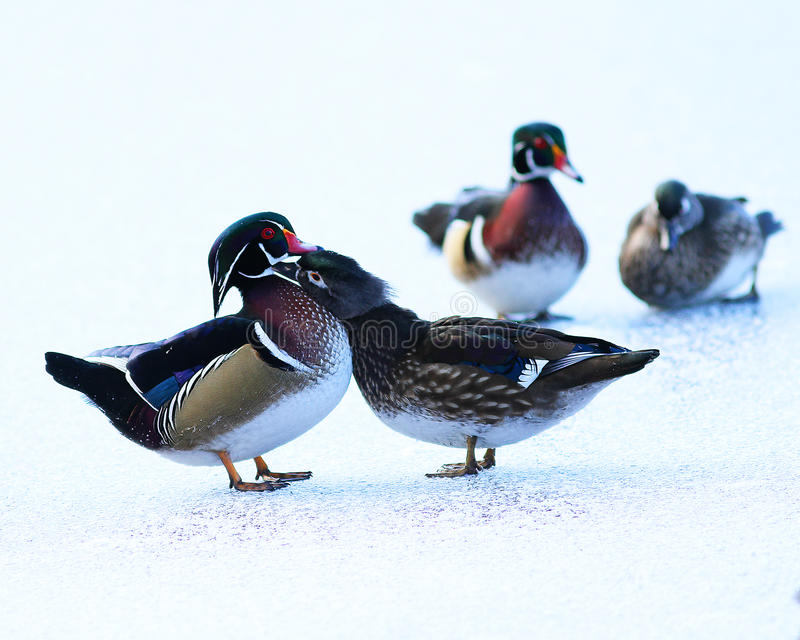 Wood Duck Couples royaltyfri bild