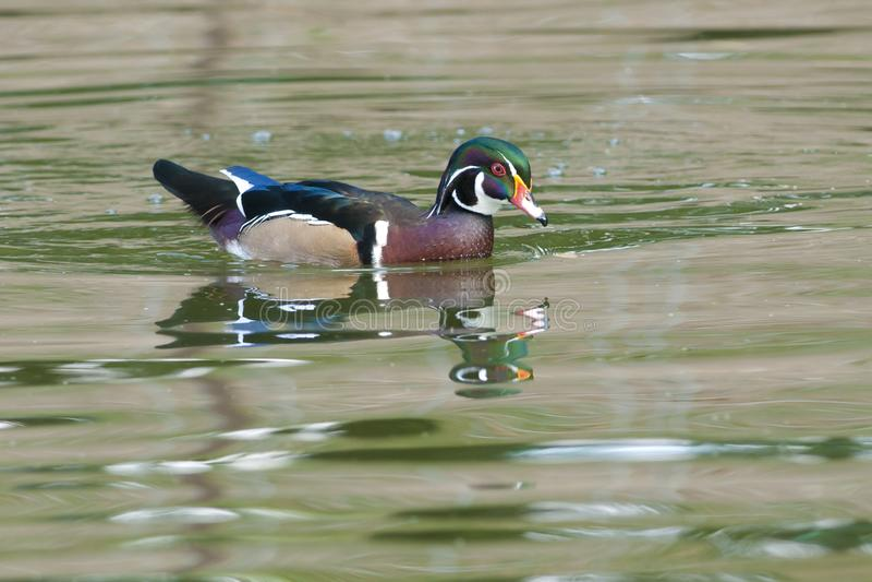 Wood Duck Drake stock photography