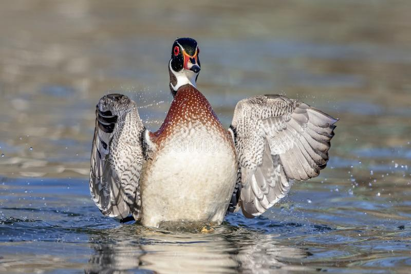 Wood Duck Drake flapping his wings royalty free stock images