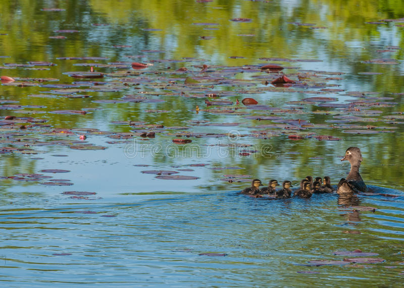 Wood Duck Ducklings. Swimming in a swamp with mother stock photo