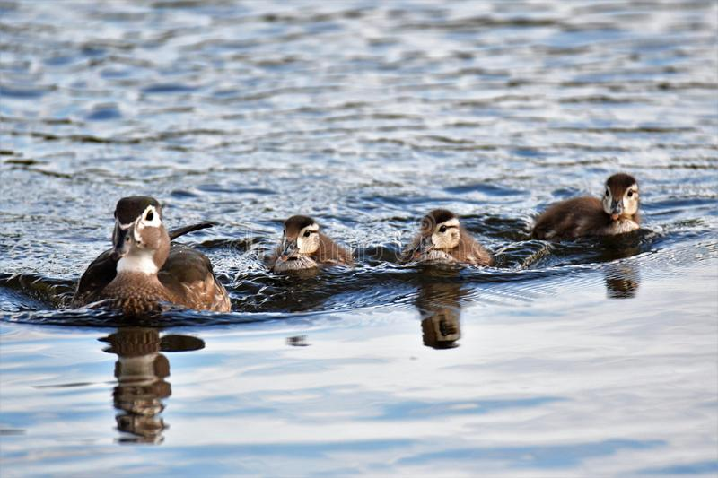 Wood duck  Family. 