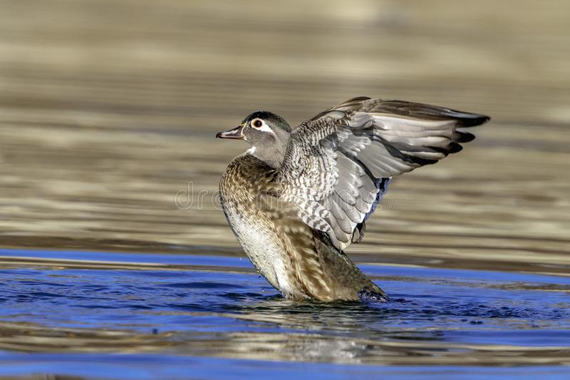 Wood Duck flapping her wings stock images