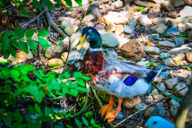 Wood Duck in the park stock photography