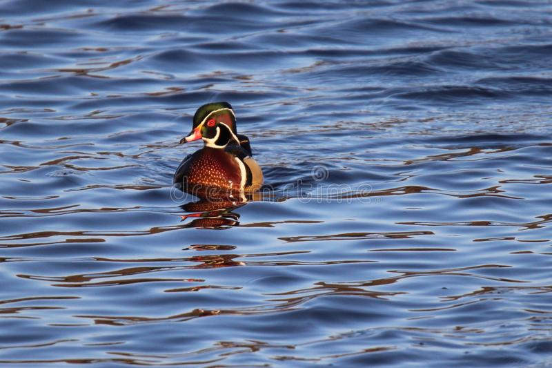 Wood Duck. A male wood duck Aix sponsa swimming on a lake royalty free stock photography