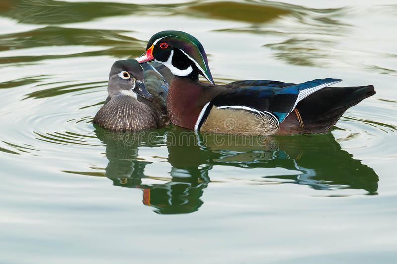 Wood Duck. Male Wood Duck bonding with his mate in the open water royalty free stock photos