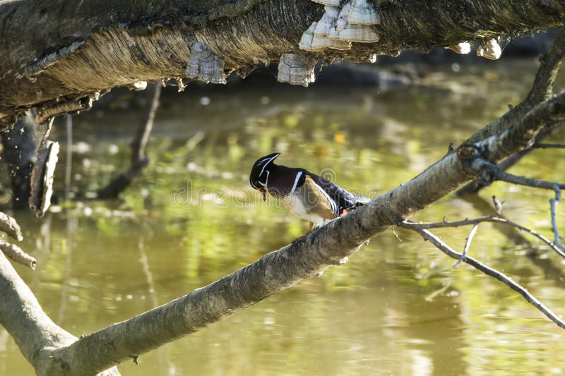 Wood duck perched upon branch. A wood duck perches upon a branch royalty free stock image