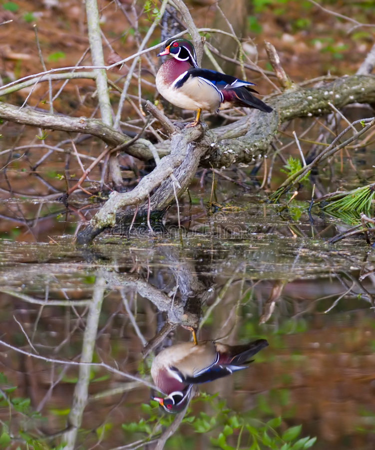 Free Wood Duck Reflected In Pond Royalty Free Stock Image - 2357906