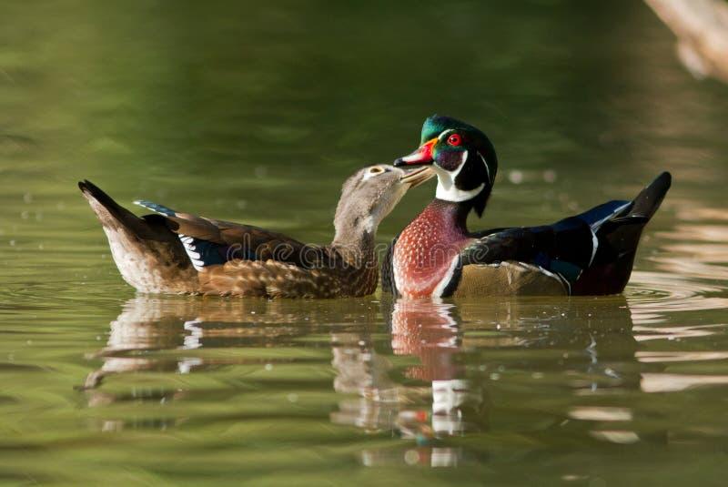 Download Wood ducks stock photo. Image of reflection, mirceax - 26559494