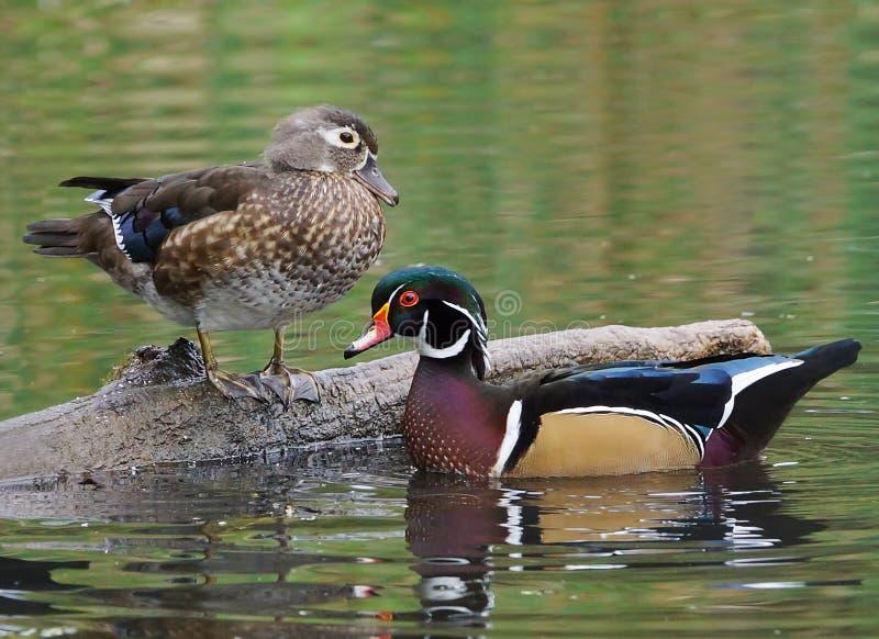 Wood Ducks - Aix sponsa stock images
