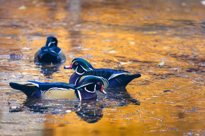 Wood Ducks on a Golden Autumn Pond stock photo