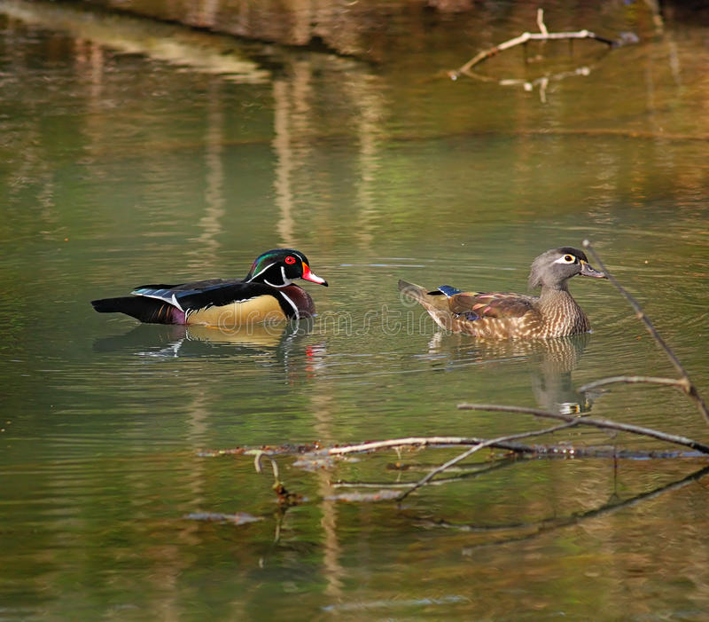 Download Wood Ducks on the Move stock photo. Image of bird, pond - 38213666