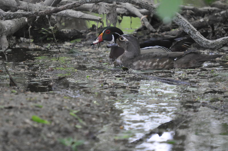 Wood Ducks In Water Royalty Free Stock Image