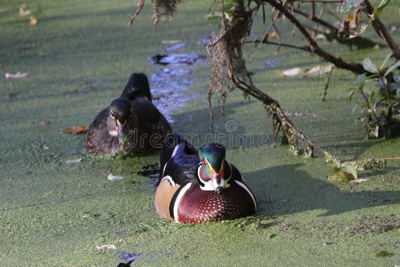 Wood Duck Pair stock photo