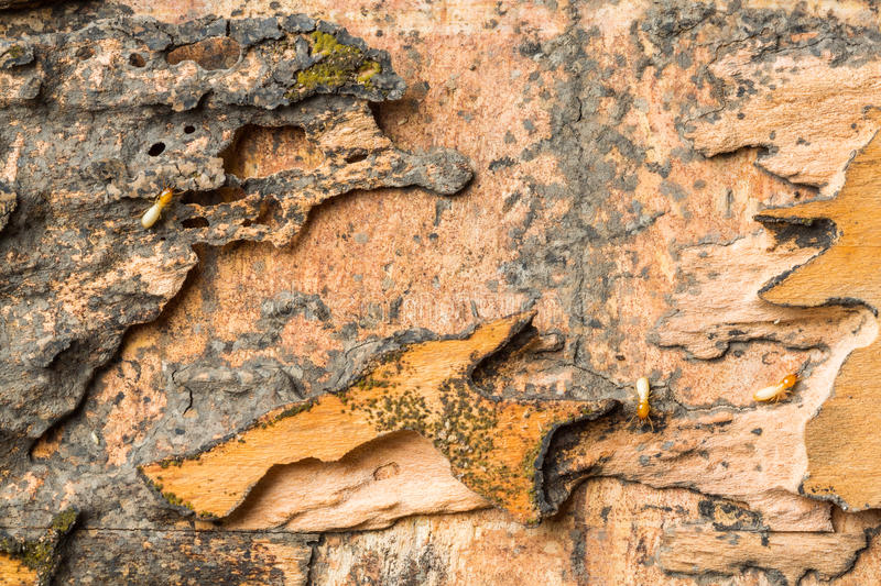 Download Wood eaten by termites stock photo. Image of termite - 29591430