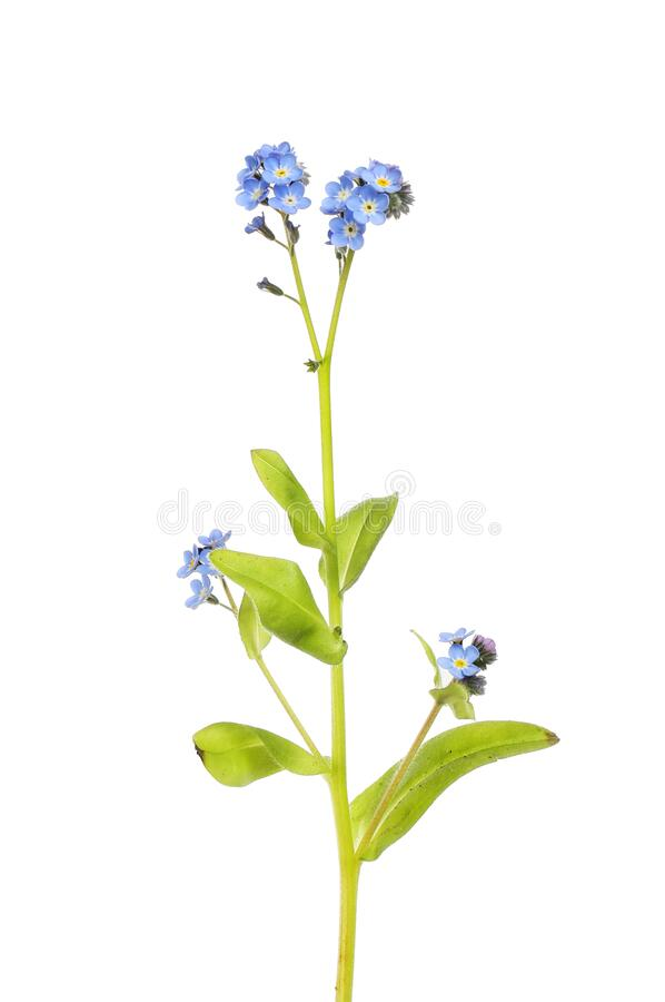 Wood Forget-me-not royalty free stock photos
