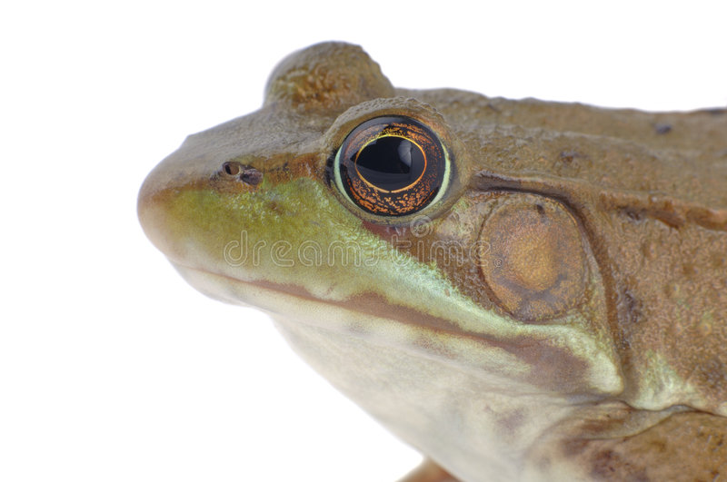 Download Wood Frog-Isolated stock image. Image of concept, white - 158241