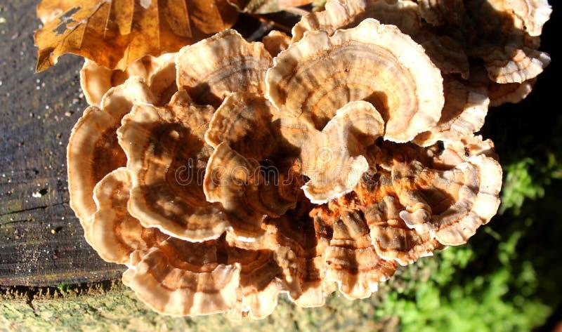 Wood fungus on stump stock image