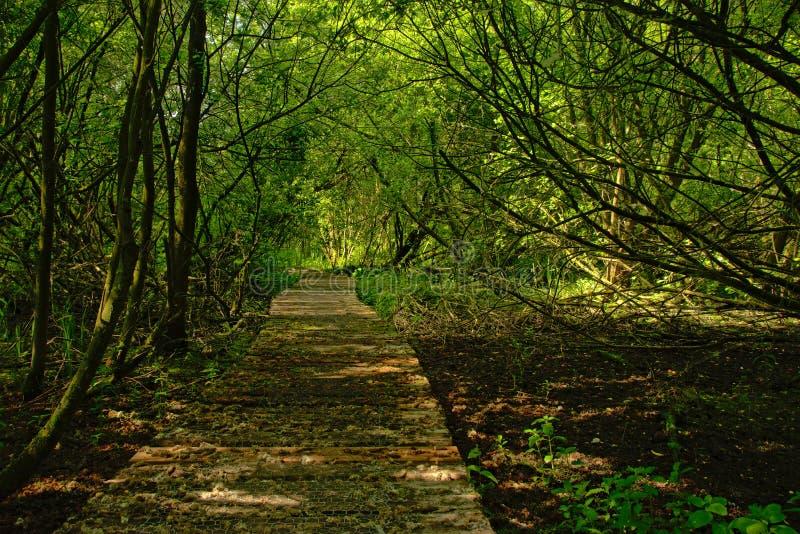 Wood gångbana till och med en frodig grön vårskog i den flemish bygden arkivbild