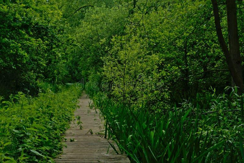 Wood gångbanathorugh en tät skogvildmark i den flemish bygden royaltyfri bild