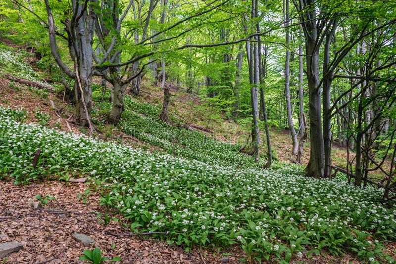 Wood Garlic in Bieszczady Mountains. Wood Garlic plants on a slope near Wetlina mountain pastures in Bieszczady National Park, Poland stock photo