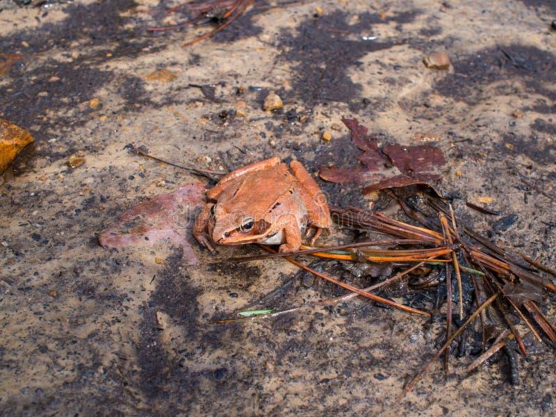 Wood groda på smutsslut upp rödaktig brunt arkivbilder