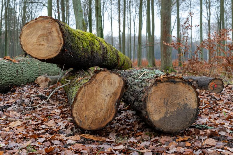 Wood logs lying in the forest. Cut trees prepared for export from the forest. Autumn season, english, alternative, background, bark, brown, closeup royalty free stock photography