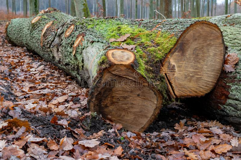 Wood logs lying in the forest. Cut trees prepared for export from the forest. Autumn season, english, alternative, background, bark, brown, closeup stock images