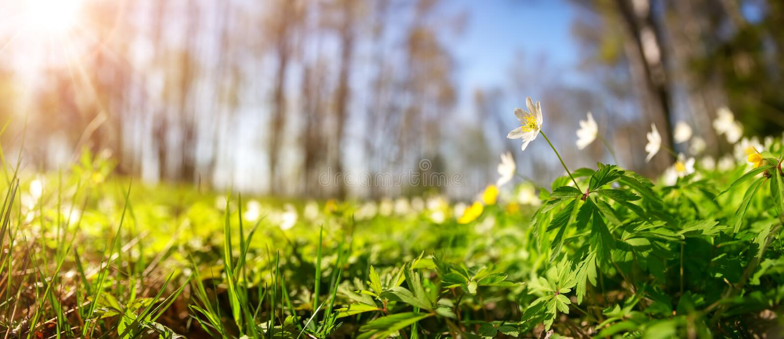 Wood with lots of white spring flowers in sunny day royalty free stock photo