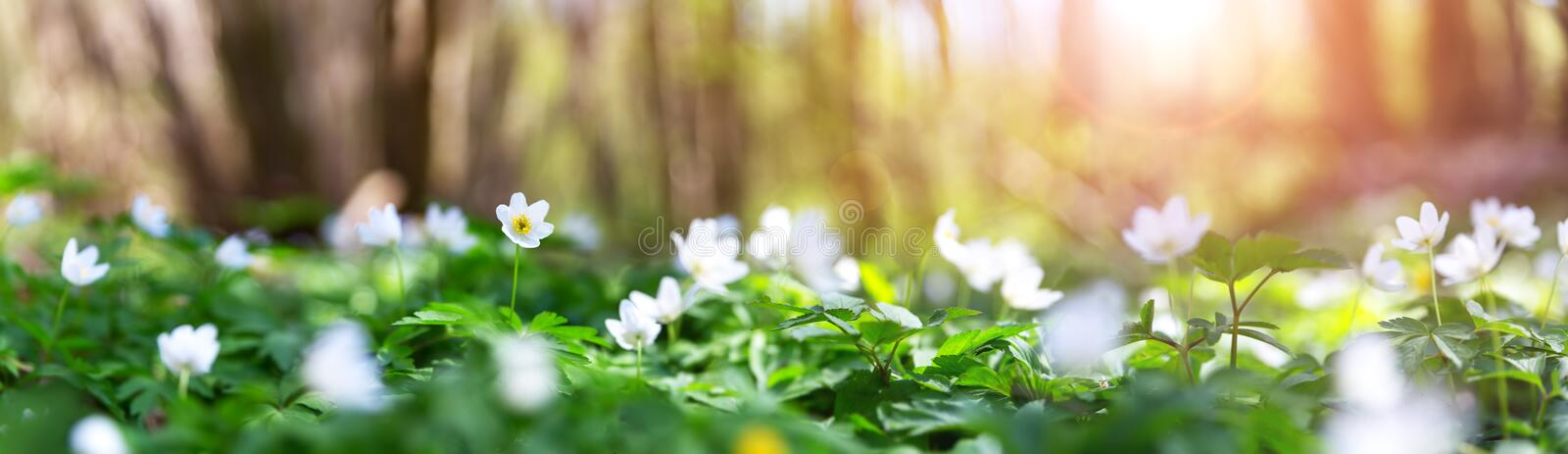 Wood with lots of white spring flowers in sunny day royalty free stock photos
