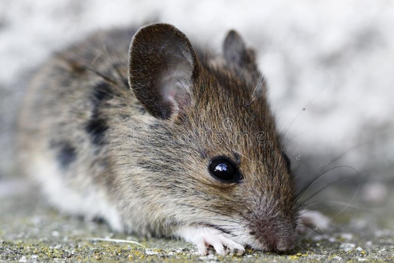 Download Wood mouse stock photo. Image of apodemus, field, nature - 13407692