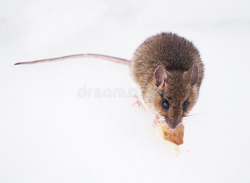 Wood mouse eating on the snow, in Retezat Mountains in early springtime. royalty free stock photography