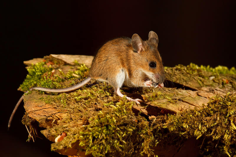 Download Wood Mouse eating stock image. Image of cute, ears, food - 25981911