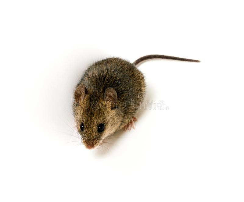 Download Wood mouse stock photo. Image of full, portrait, sandy - 34394440