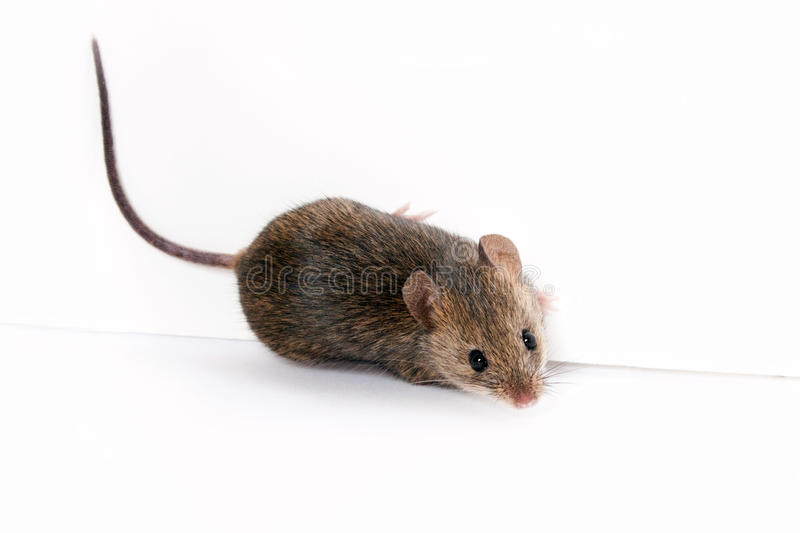Download Wood mouse stock photo. Image of animals, field, rodent - 34394564