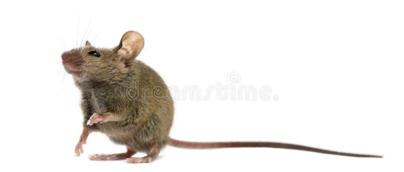 Wood mouse stock photos