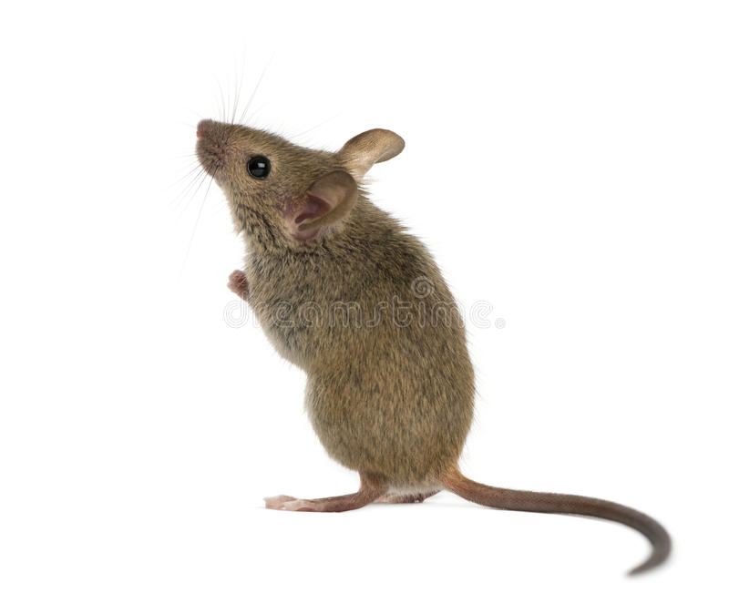 Wood mouse looking up royalty free stock photo