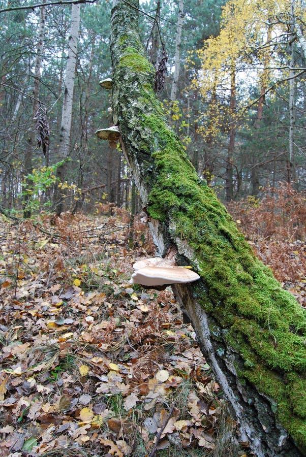 Wood mushroom royalty free stock image