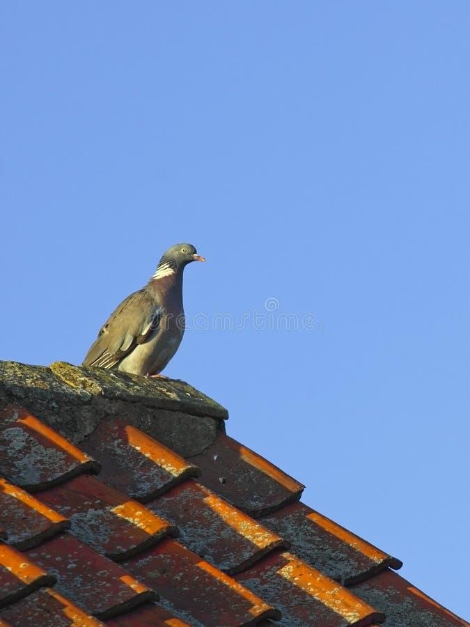 Wood Pigeon Royalty Free Stock Photos