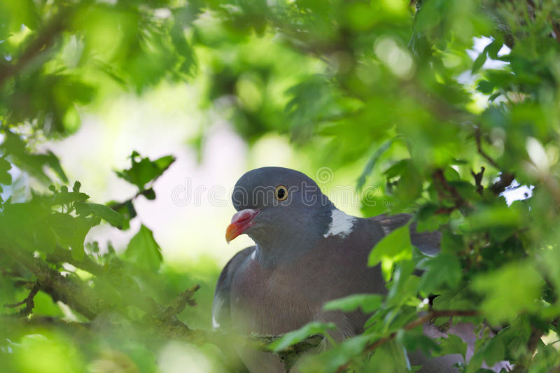 Download Wood Pigeon stock image. Image of nature, doves, outdoors - 16406163