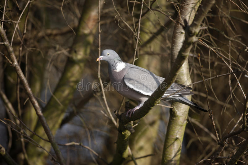 Wood pigeon, Columba palumbus royalty free stock photos