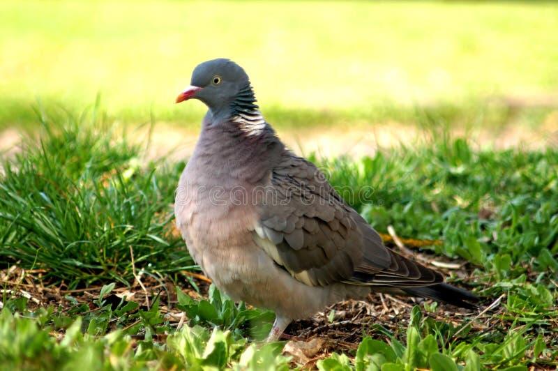 Wood Pigeon, Columba palumbus stock photography