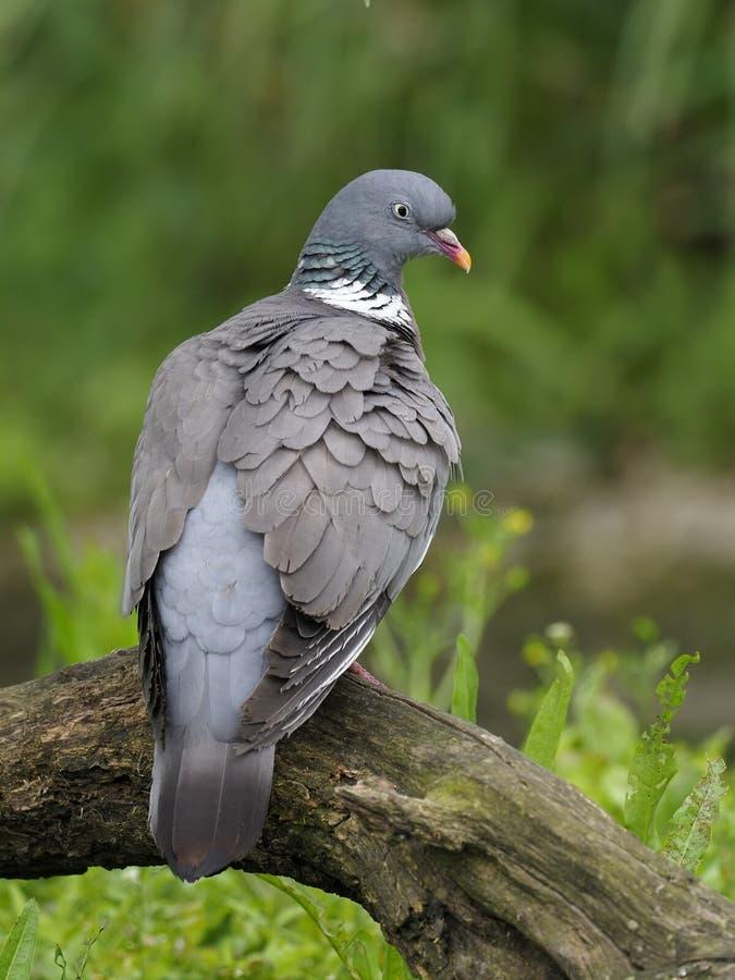 Wood pigeon, Columba palumbus royalty free stock images