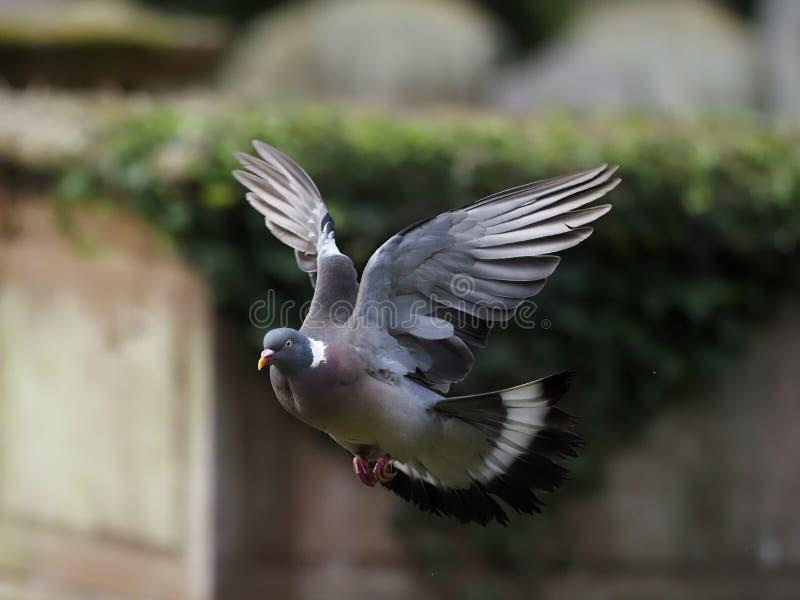 Wood pigeon, Columba palumbus stock images