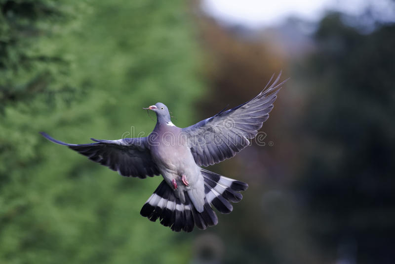 Wood pigeon, Columba palumbus royalty free stock photo