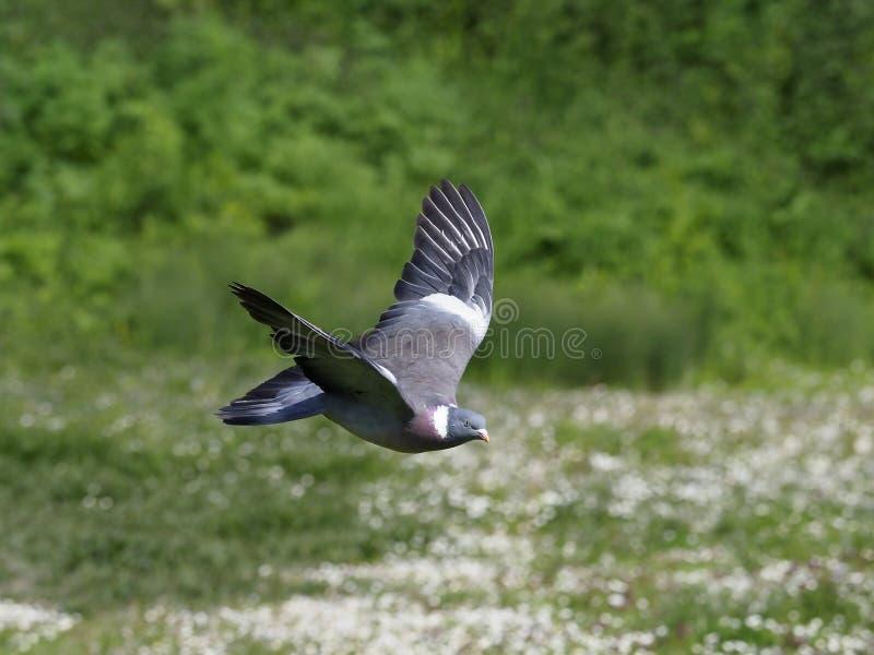 Wood pigeon, Columba palumbus stock image