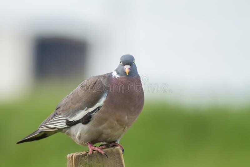 Download Wood Pigeon stock image. Image of england, dove, beak - 42622845