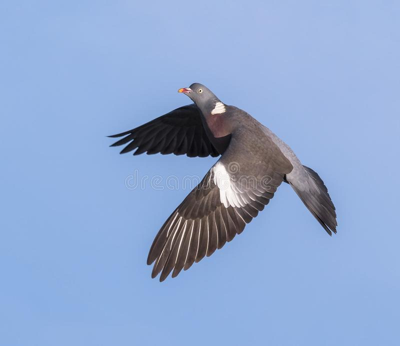 Flight of the Wood Pigeon royalty free stock photos